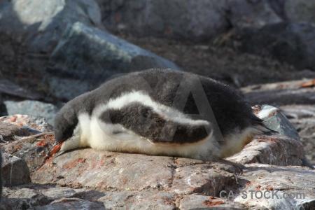 Wilhelm archipelago rock chick day 8 antarctica.