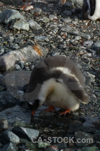 Wilhelm archipelago rock chick gentoo animal.