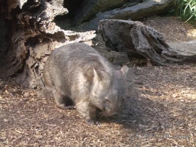 Wombat animal.
