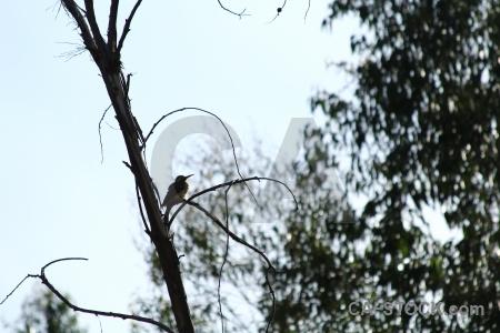 Yanque branch colca valley tree peru.