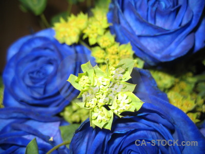 Yellow blue rose plant bouquet.