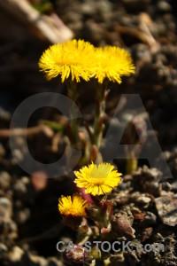 Yellow brown plant flower black.