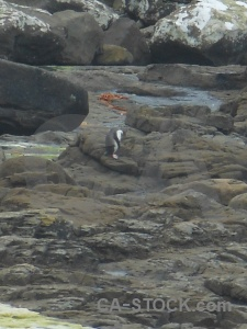 Yellow eyed penguin new zealand rock catlins petrified forest.