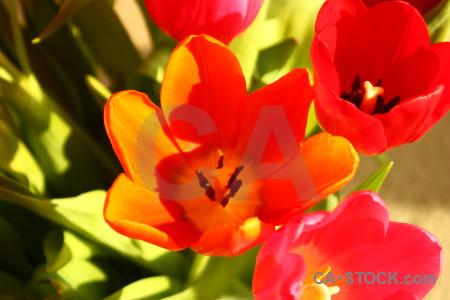 Yellow plant tulip flower orange.